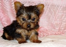 Beautiful small Yorkshire Terrier Puppies in Saint Petersburg, Florida