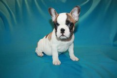 Male and female french bulldog puppies for sale in Saint Petersburg, Florida