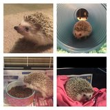 friendly hedgehog in Joliet, Illinois