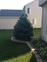 Free Pine Tree! in Yorkville, Illinois