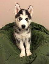 Home Trained and Very Beautiful Husky P.ups available in Saint Petersburg, Florida
