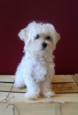 precious baby maltese is ready for her new home in Saint Petersburg, Florida