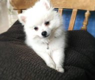male and female purebred Pomeranian puppies available in Saint Petersburg, Florida