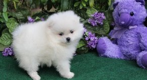 POMERANIAN PUPPIES READY TO LEAVE NOW in Saint Petersburg, Florida