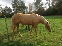 9 year old palomino mare in Cleveland, Texas