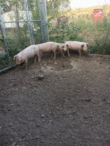 feeder pigs in Fort Leonard Wood, Missouri