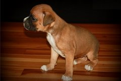 boxer puppies for sale in Little Rock, Arkansas