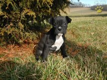 boxer puppy for sale in Little Rock, Arkansas