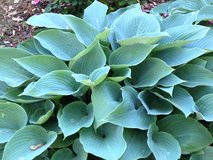 Hosta Blue Cadet in Westmont, Illinois