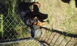 Trading Male Rottweiler in Columbus, Georgia