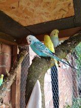 I will take unwanted parakeets and lovebirds in Fort Hood, Texas