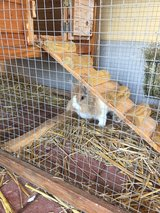 two rabbits/bunny and giant cage and supplies in Ramstein, Germany