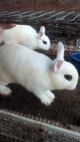 DWARF HOTOT BUNNIES ! in Alexandria, Louisiana