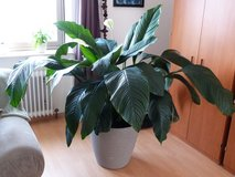 """XXL """"good air"""" plant, Spathiphyllum - PCS Sale in Ramstein, Germany"""
