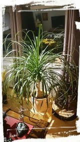 Large Elephant Plant - PCS sale in Ramstein, Germany