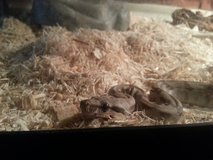 Pet Snakes (NEED GONE ASAP) in Bellaire, Texas