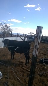 jersy bull & 2 goats in Alamogordo, New Mexico