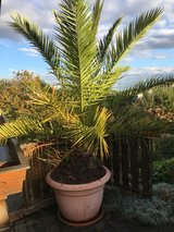 Palm Tree in Ramstein, Germany