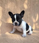 Cute French Bulldog Puppies  (804) 331-4377 in Birmingham, Alabama