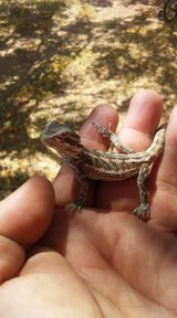 Baby Bearded Dragons in Alamogordo, New Mexico