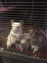 chinchillas in Quad Cities, Iowa