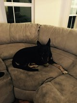 Germans Shepard/Doberman in Oceanside, California