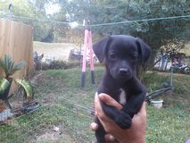 chiwinnie female #1 in Fort Campbell, Kentucky