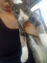 5 month old tabby in Travis AFB, California