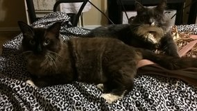 Cats (home together) in Yucca Valley, California