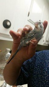 Tame hand feed parakeet in Oceanside, California