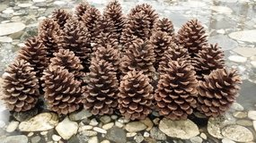 Pine Cones in Glendale Heights, Illinois