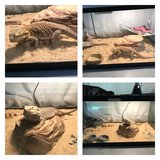 Male and Female bearded dragons in Warner Robins, Georgia