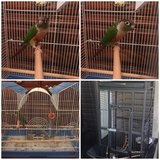 Green cheek conure in Elizabethtown, Kentucky