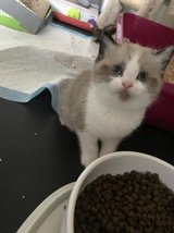 Healthy Persian Kitten For Adoption in 29 Palms, California