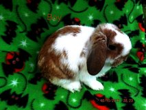 holland lops in Tampa, Florida