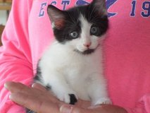Kittens available to loving home, even if you already have a dog! in Camp Lejeune, North Carolina