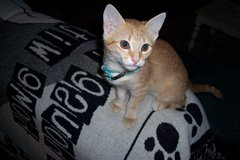 Sweet young female kitten free to good home. in Lawton, Oklahoma