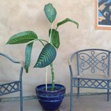 Indoor plant - healthy mature fast growing, comes with ceramic pot in Yucca Valley, California