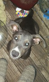 4 month old pit mix puppy in Lawton, Oklahoma