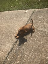 puppy looking for good home in Leesville, Louisiana
