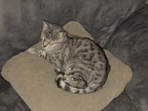 Rehoming a Silver Bengal Cat - 8 yrs old, Male in Travis AFB, California