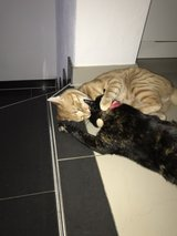Two beautiful kittens-Pending New Home in Ramstein, Germany