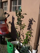 2 apple trees + 2 blueberry shrubs in Ramstein, Germany