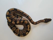 7 month old female ball python in Morris, Illinois