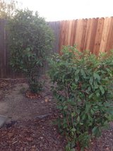 Free plants and bushes, you dig and haul away in Fairfield, California