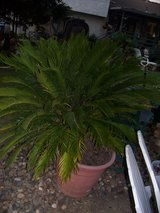 Seco Palm Tree in Vacaville, California