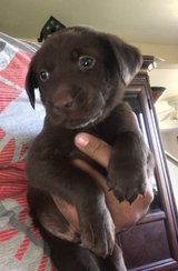 AKC Chocolate Lab Pup in Fort Drum, New York