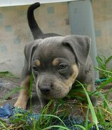 Lovely American Bully Puppy for Adoption in Fort Campbell, Kentucky