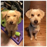 Duchess - Wheaten Terrier Mix AVailable for Adoption in Okinawa, Japan