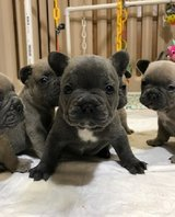 Stunning Blue French bulldog puppies for sale Text (443) 563-1239 in Philadelphia, Pennsylvania